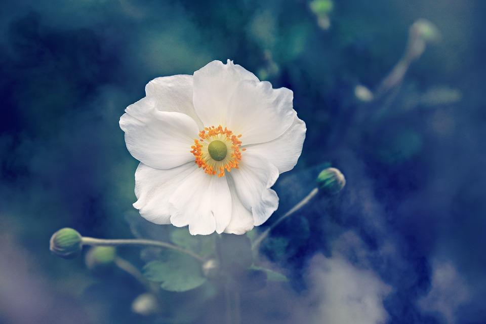 White anemone flower for wedding day