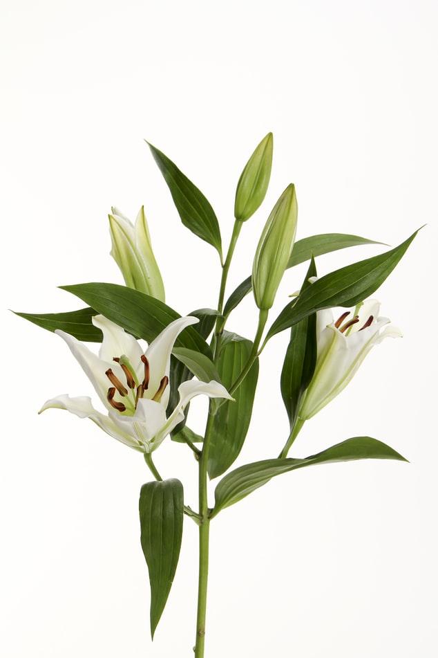 casablanca lily flower for wedding day