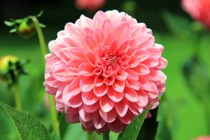 Single pink dahlia close up in green background