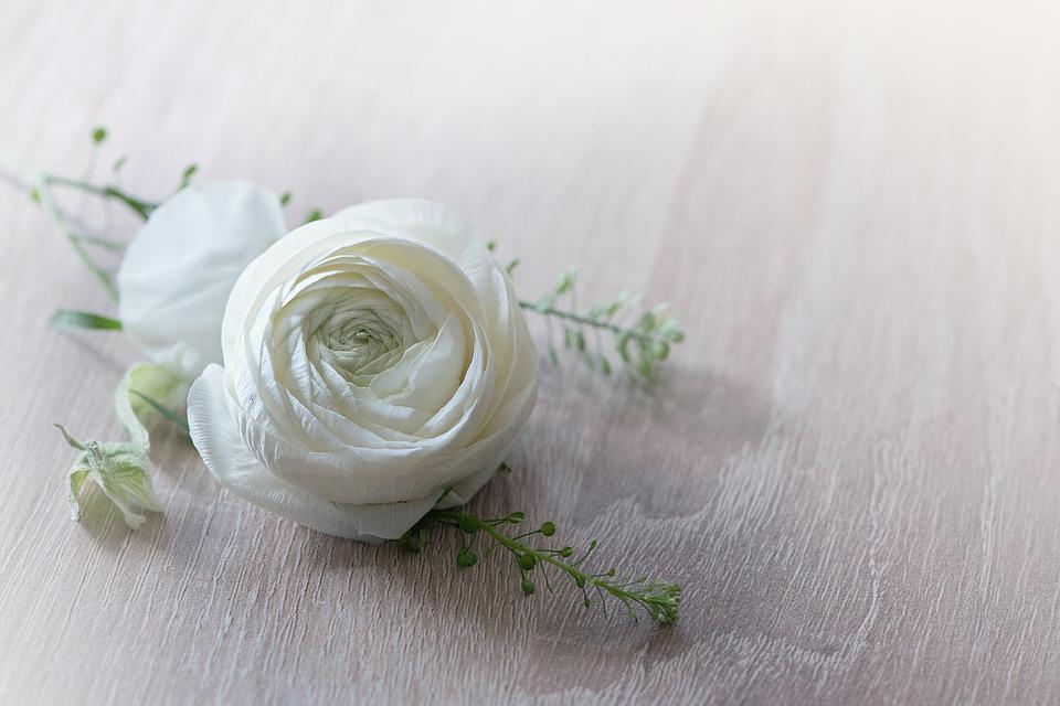 White ranunculus bloom
