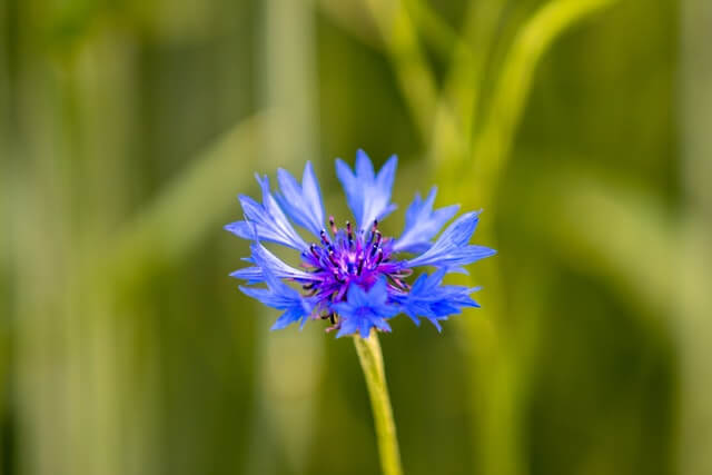 cornflower plant