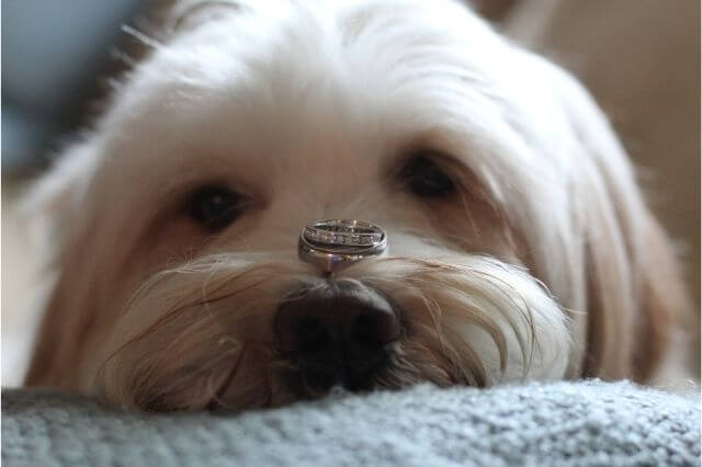 Pet ring bearer